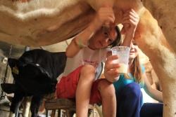tradicionalna molza krav